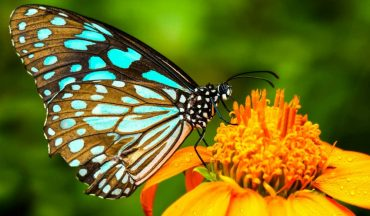 scomparsa delle farfalle