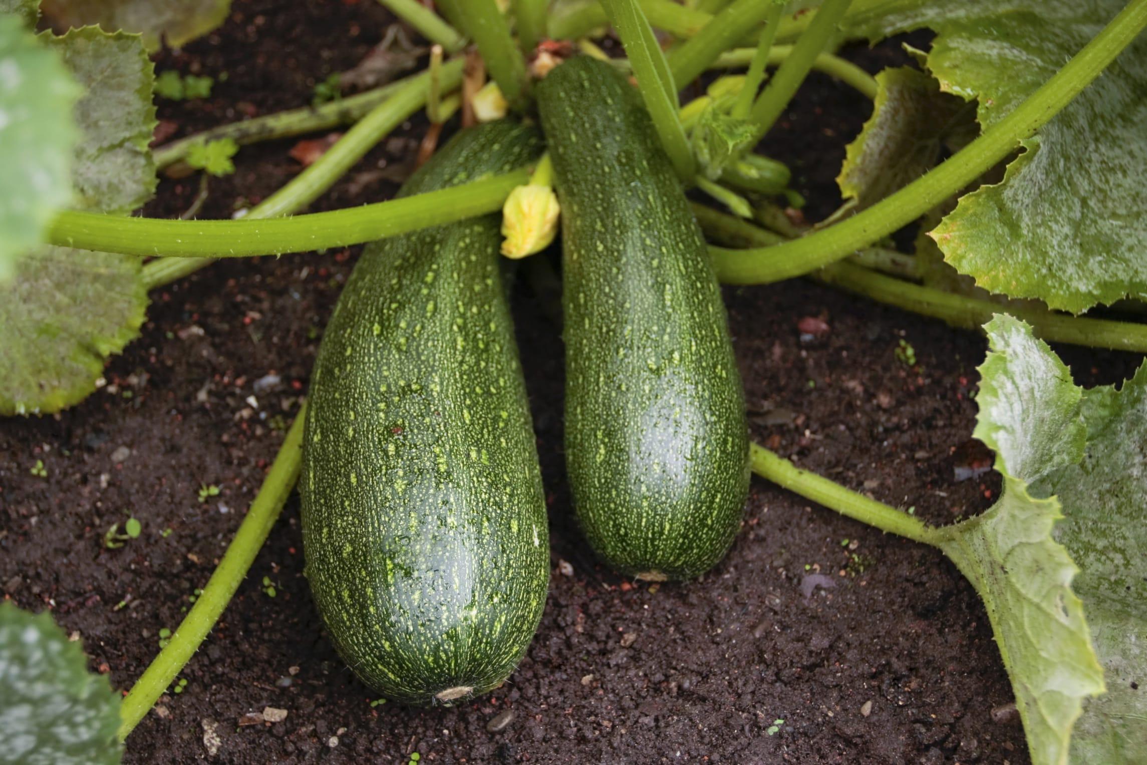 Varietà Zucchine Da Fiore come coltivare le zucchine in vaso sul balcone - non sprecare