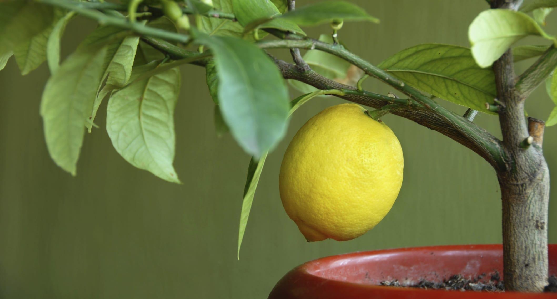 Come coltivare i limoni in vaso