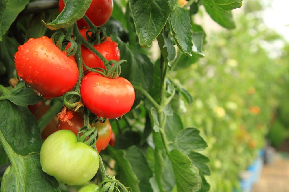Come Coltivare I Pomodori In Vaso O Nellorto Non Sprecare