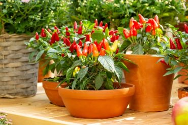 coltivazione dei peperoncini in vaso