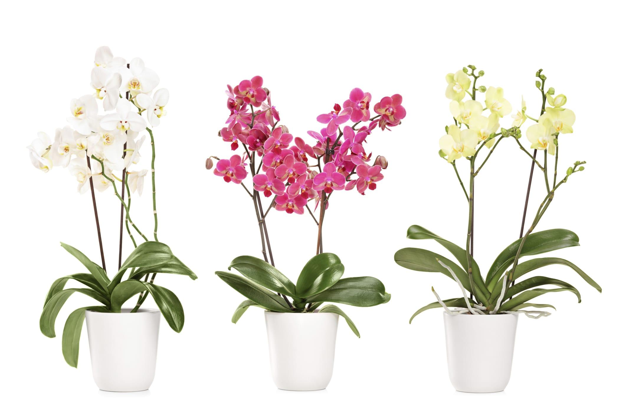 come coltivare orchidee in vaso