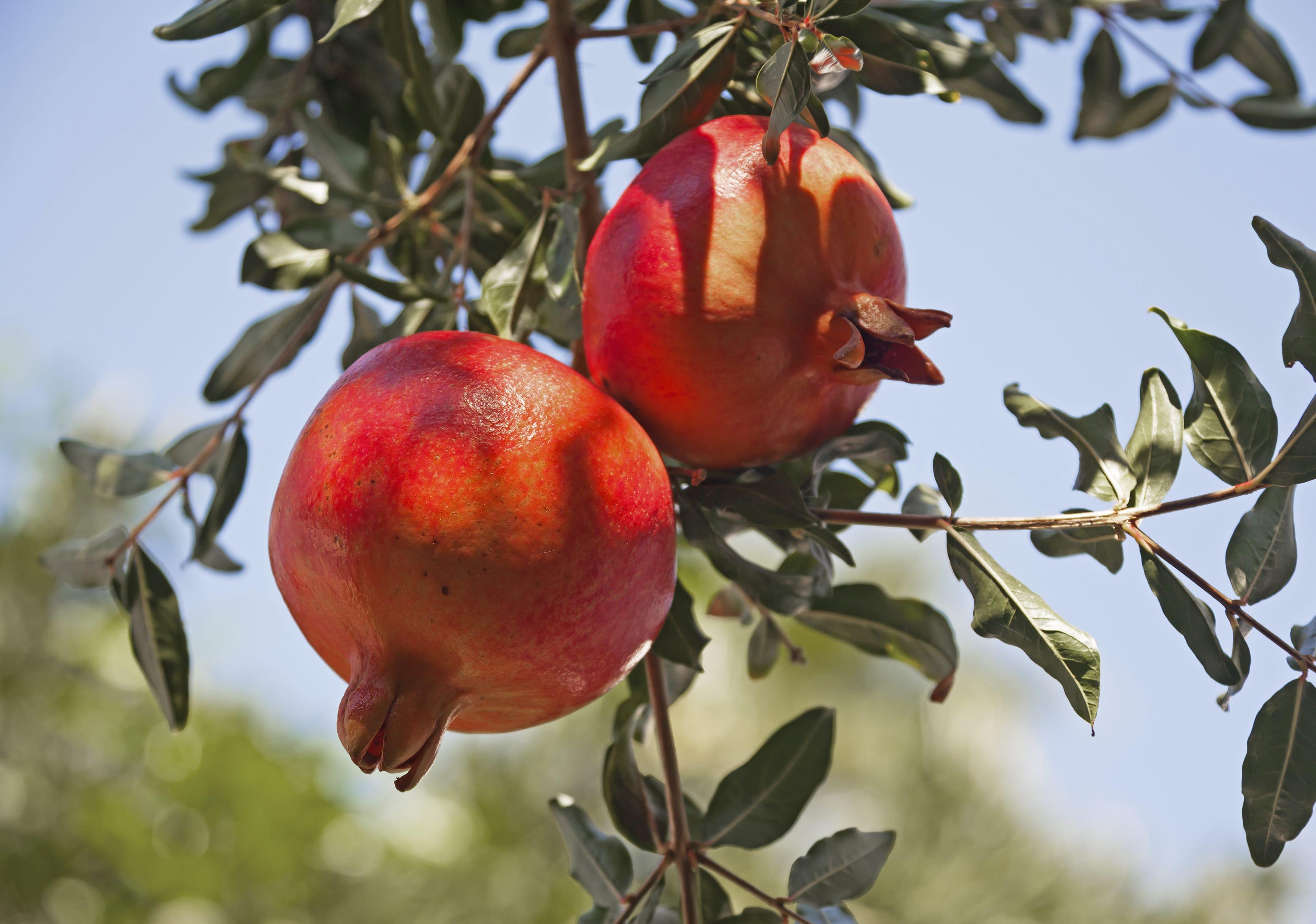 Alberi Ornamentali Da Giardino come coltivare il melograno in giardino o in vaso - non sprecare