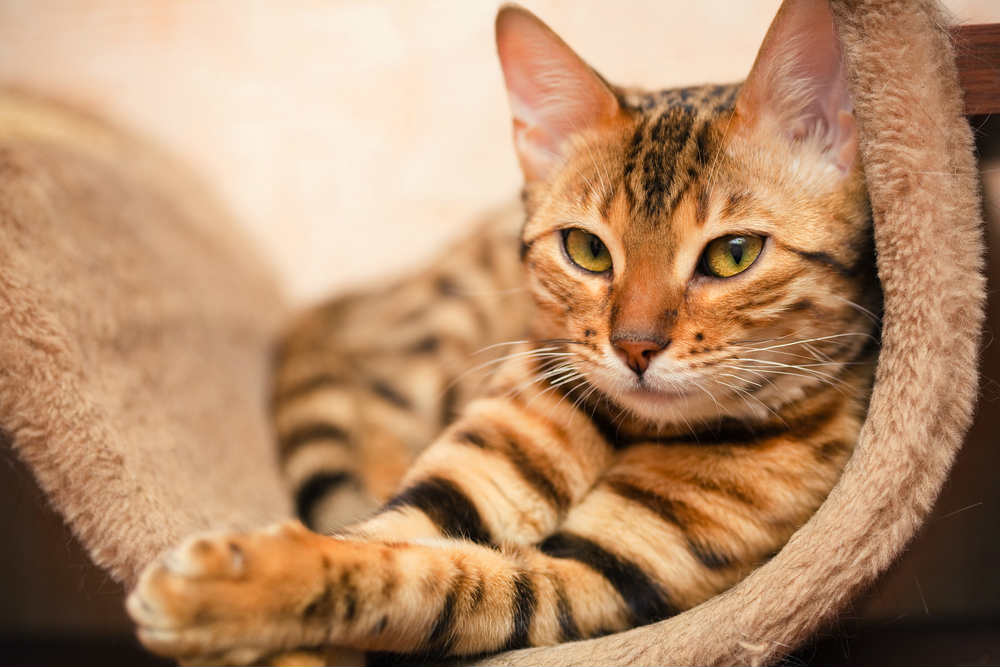 rimedi naturali contro le pulci dei gatti