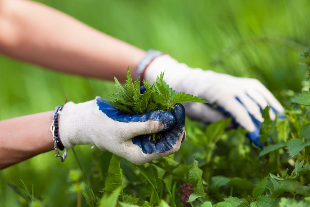 Macerato di ortica per l'Orto: preparazione e uso - GreenStyle