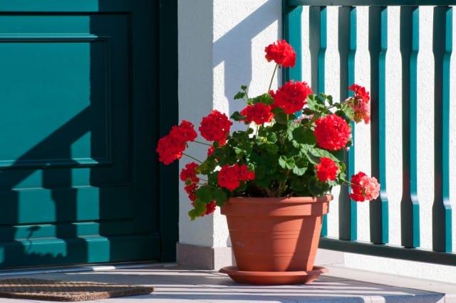 come-coltivare-gerani-vaso (4)