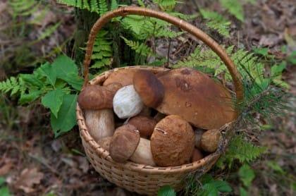 quali sono i funghi commestibili