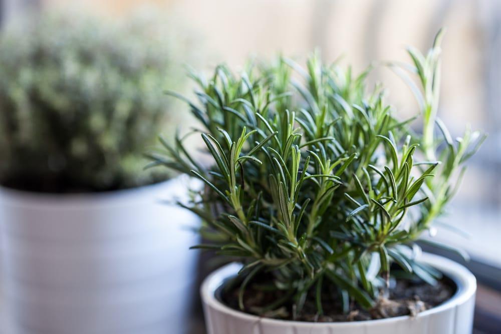 Come coltivare il rosmarino in vaso - Cure-Naturali.it