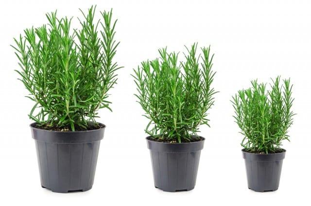come-coltivare-rosmarino-casa-vaso-balcone (4)