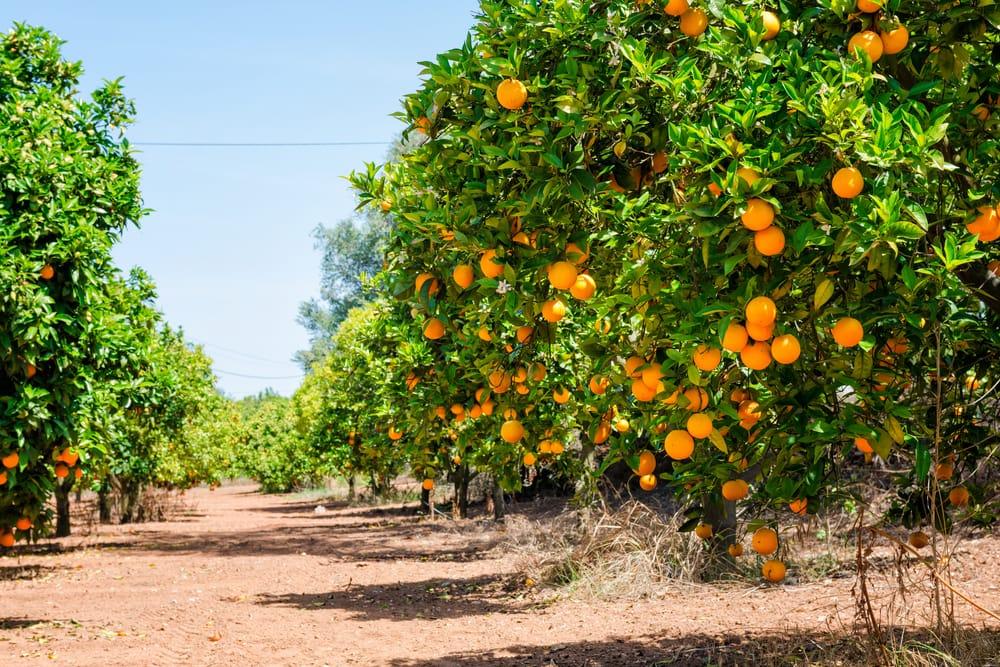 Giardino siciliano di Arance