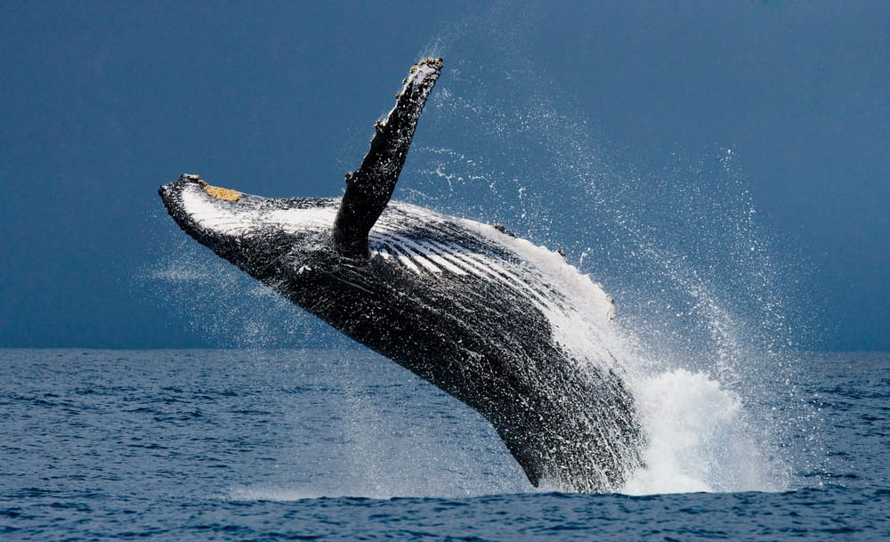 Come salvare le balene