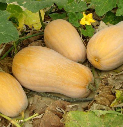 Come coltivare la zucca, un ortaggio ricco di proprietà importanti per la salute