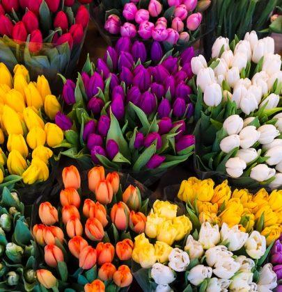 Come coltivare i tulipani in giardino o in vaso sul balcone. Fioritura da metà aprile