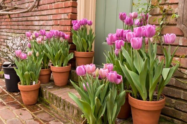 come-coltivare-tulipani (7)