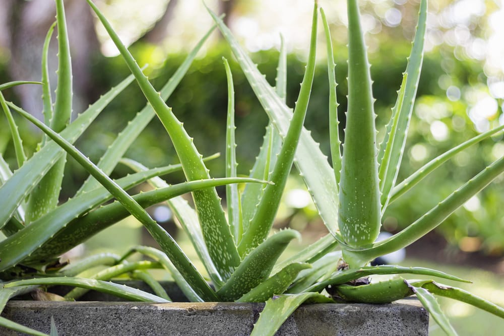 benefici aloe