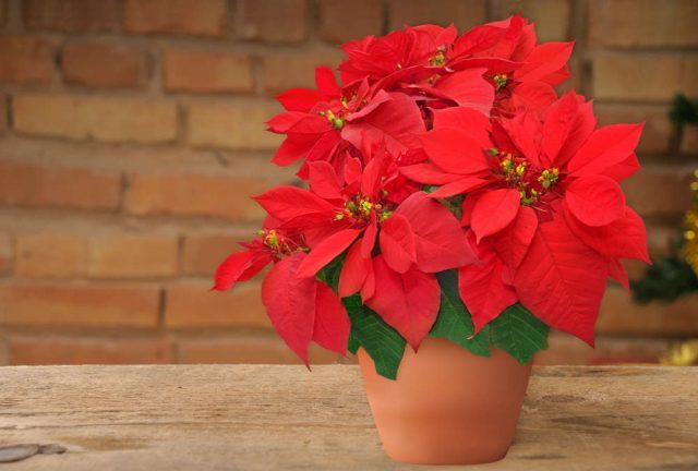 Stella Di Natale Costo.Come Coltivare La Stella Di Natale In Vaso Non Sprecare