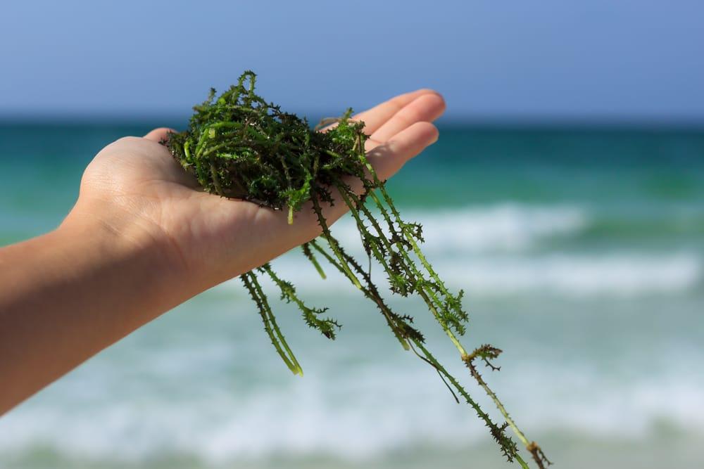 benefici delle alghe