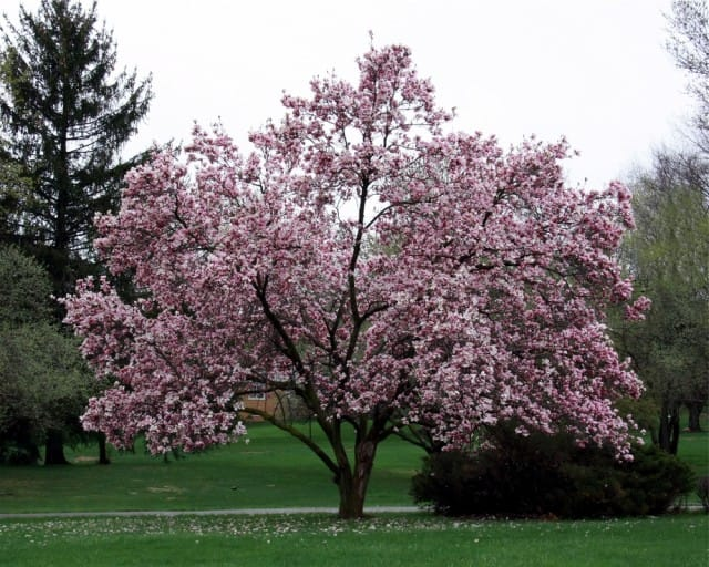 come-coltivare-magnolia (11)