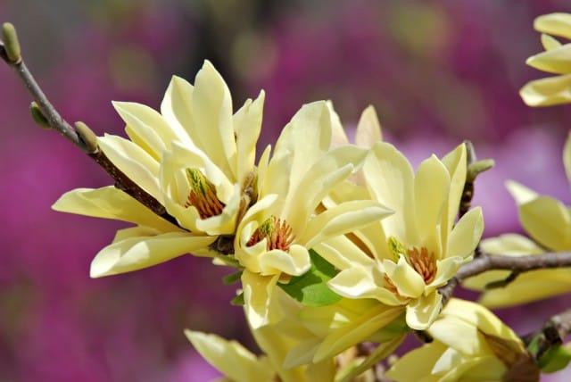 come-coltivare-magnolia (3)