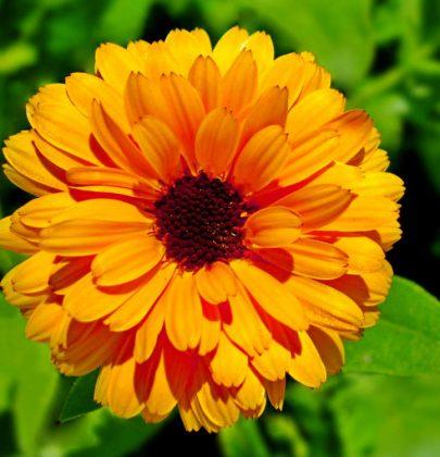 Calendula, i benefici per la salute di una pianta bellissima e dalle mille proprietà