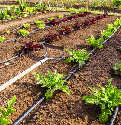 Irrigazione a goccia: dall'orto all'agricoltura. Come funziona e quanta acqua fa risparmiare (video)