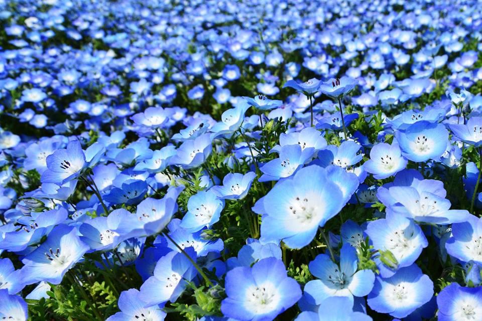 nemophila blu