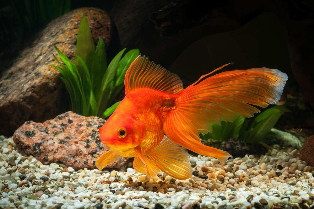 perché non liberare i pesci rossi
