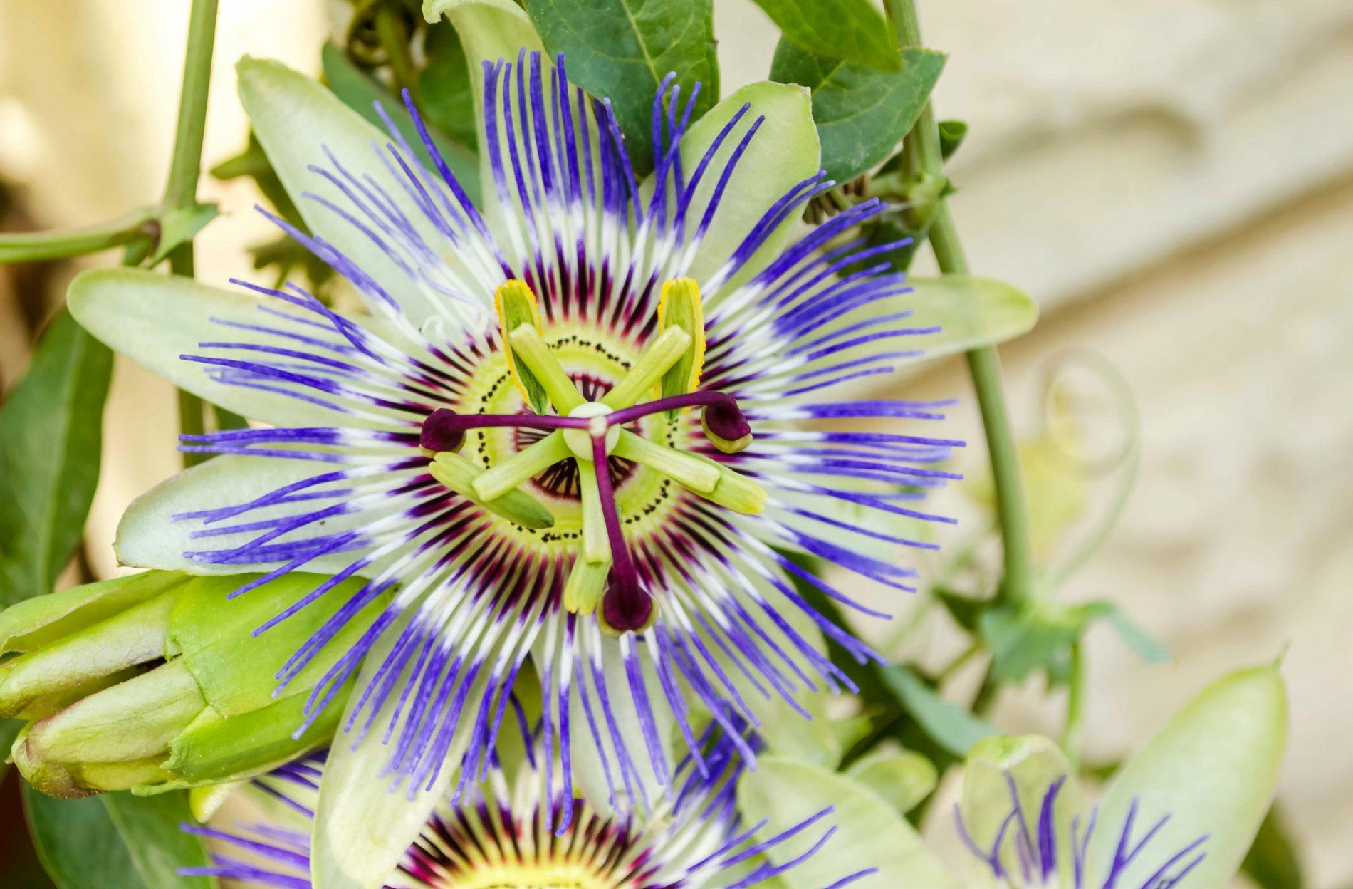 benefici della passiflora