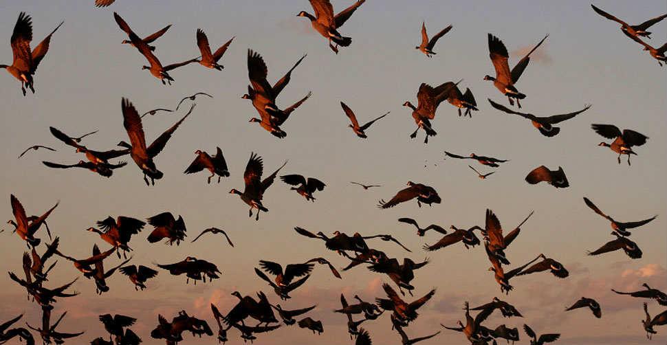 migrazioni uccelli