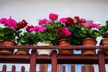 come coltivare gerani in vaso