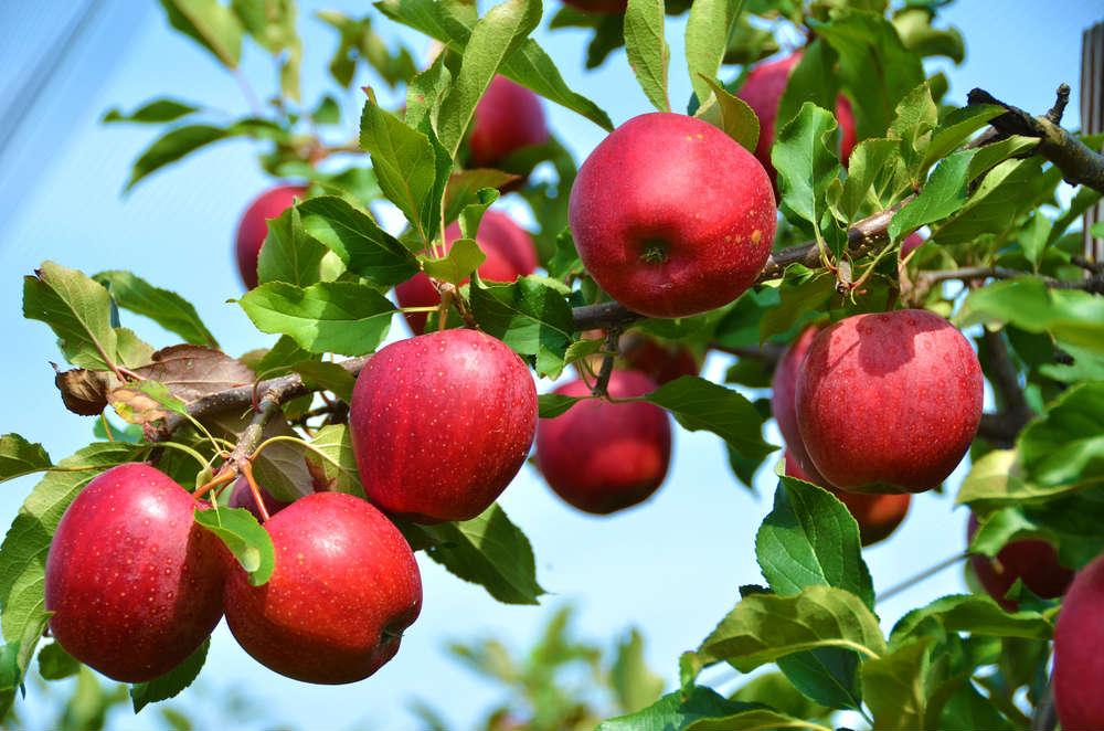 come si coltiva il melo