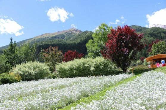 coltivare stelle alpine