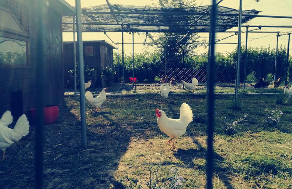 pollaio sociale