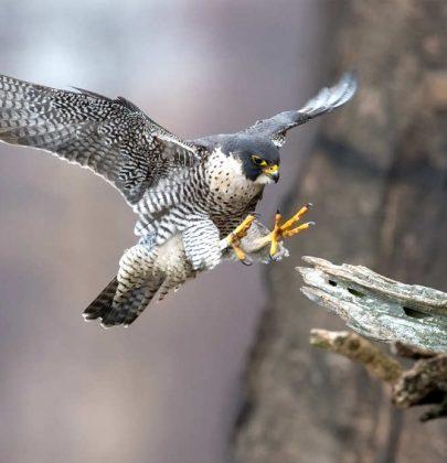 Falco pellegrino, i segreti dell'animale più veloce del Pianeta. Vola come un razzo (389 km all'ora)