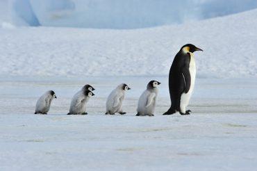 estinzione pinguino imperatore