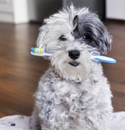 Pulizia dei cani, partite dai denti e lavateli con una garza e con un vecchio spazzolino