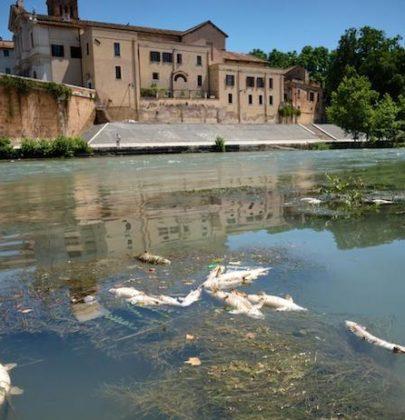 Roma, centinaia di pesci morti nel Tevere. Trovati pesticidi ma la causa principale è naturale