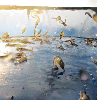 Microplastiche anche nei mari più incontaminati. Trovate nei gamberetti artici