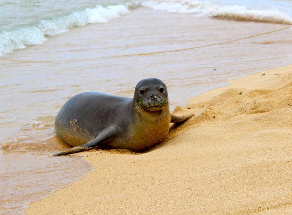 ritorno della foca monaca